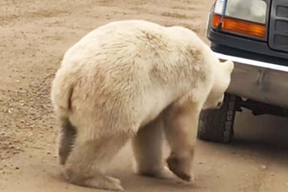 Huch! Dieser Eisbär hat sich erschrocken - weil er sein eigenes Spiegelbild in der Stoßstange des Autos entdeckt hat.