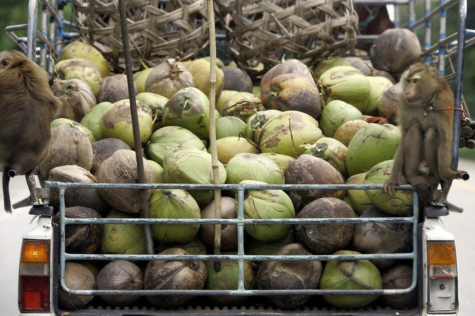 Zwei Affen sitzen auf der mit Kokosnüssen belandenen Ladefläche eines Transporters.(Archivbild)