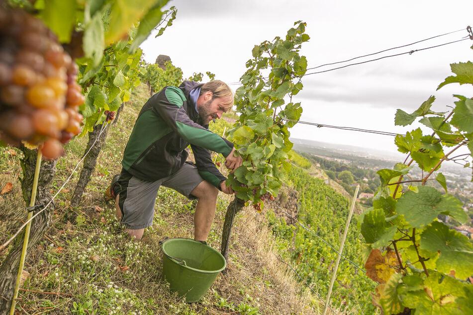 Wackerbarth-Weinbauleiter Till Neumeister (35) kontrolliert die Reben der prämierten Lage.