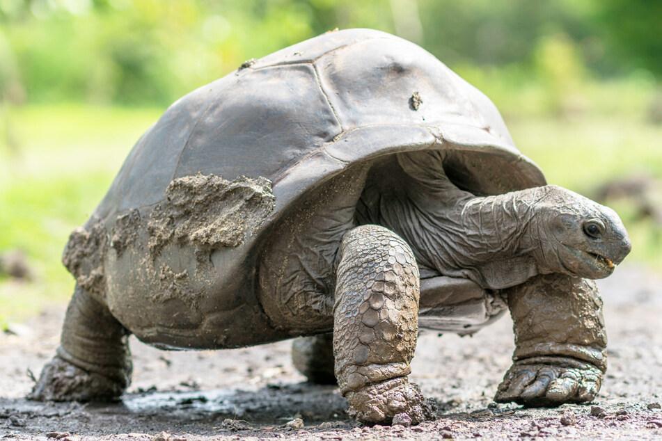 Die Eltern glaubten, sich und ihre Kinder mit dem Blut einer Schildkröte vor dem Coronavirus schützen zu können. (Symbolbild)