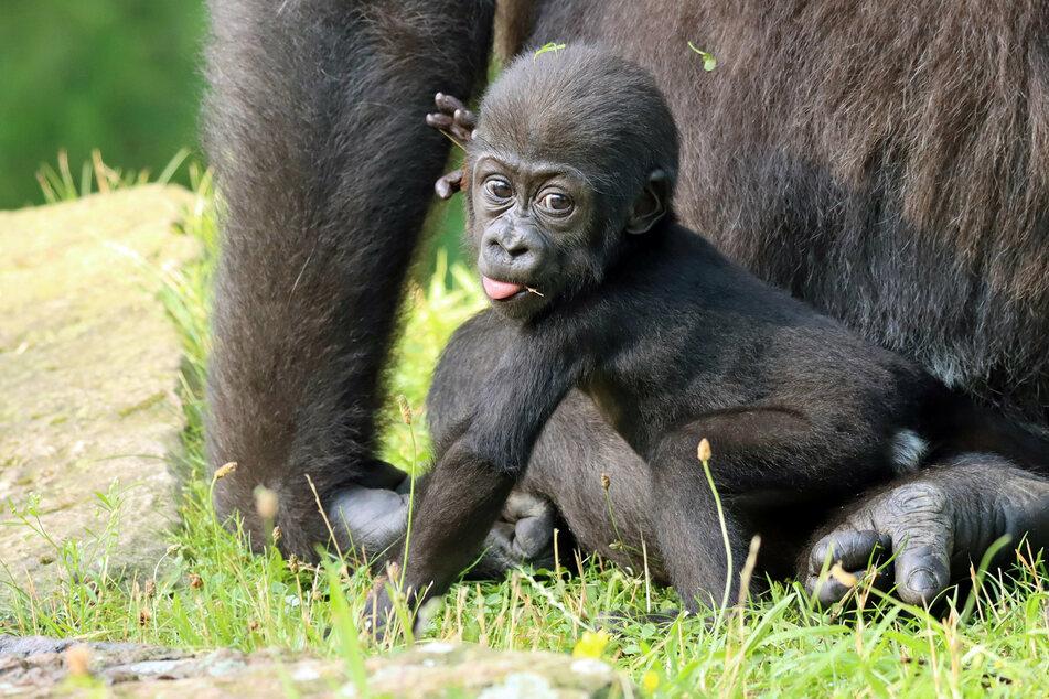 """Gorilla-Mädchen """"Tilla"""" wagt erste Schritte im Zoo Berlin."""