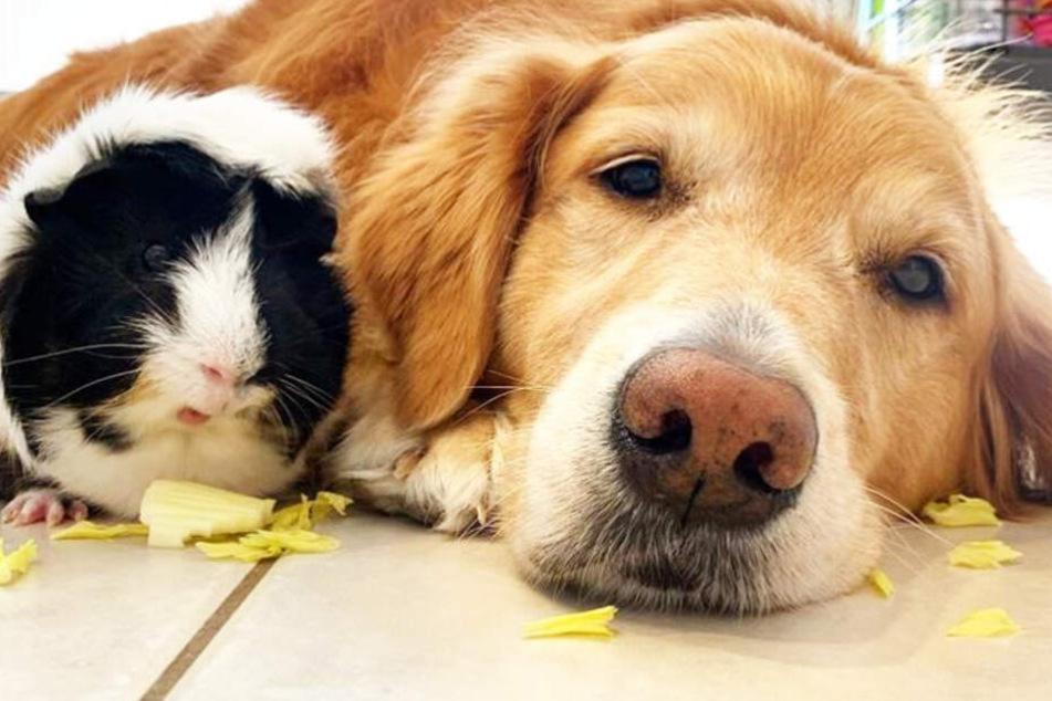 Das Meerschweinchen und der Hund sind unzertrennlich.