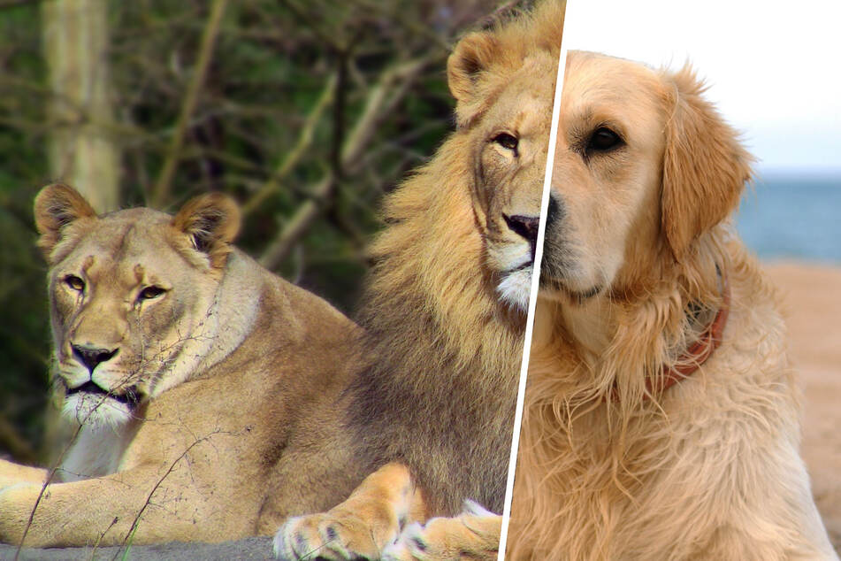 Zoo visitors are barking mad about hilariously false advertisement for lion's enclosure