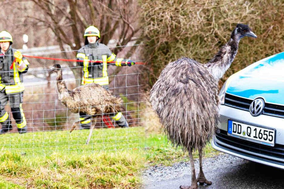 Weil es die Feuerwehr nicht schaffte: Straußenfarm fängt den Ausreißer-Emu!