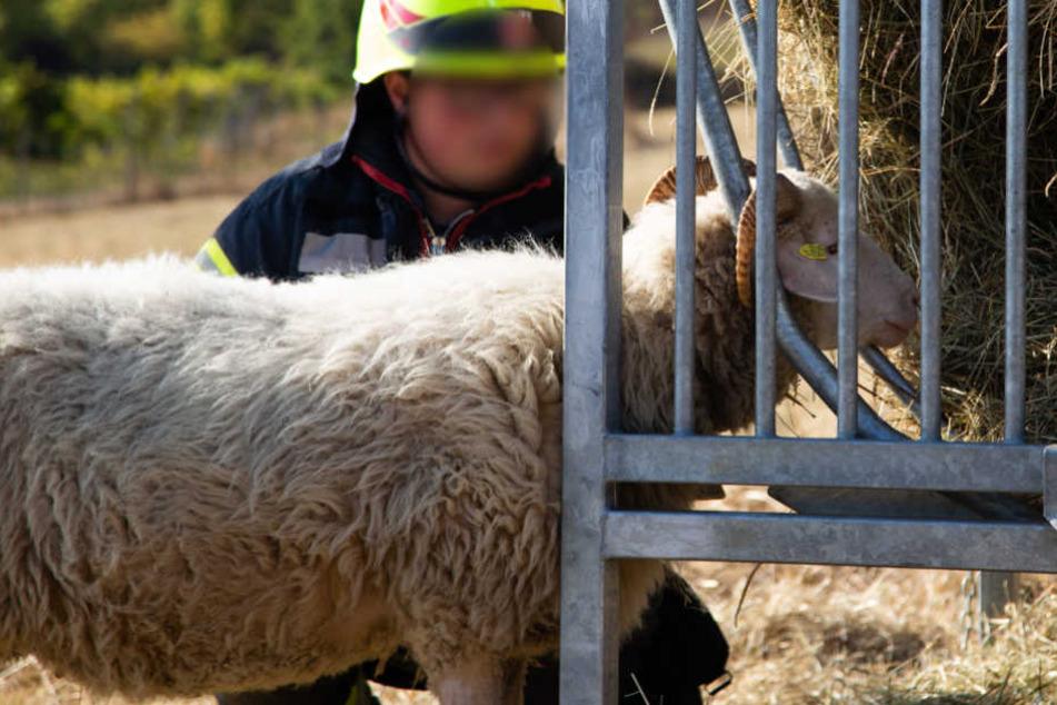 Schafsbock gerät bei Nachmittags-Snack in missliche Lage