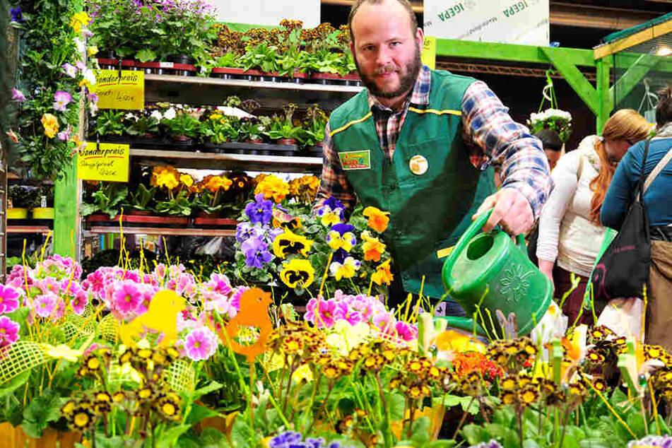 Frühlingszeit ist Pflanzzeit: Gärtner Markus Zülchner (37) zeigt Frühblüher auf der Chemnitzer Frühlingsmesse.