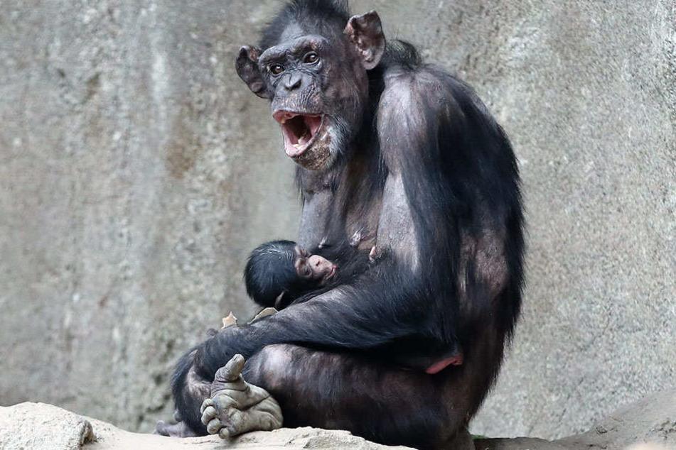 Schimpansenmama Corry und ihr Kleines sind wohlauf.