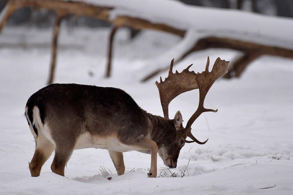 Ein Dammhirsch im Schnee auf Futtersuche.