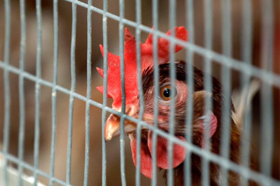 Mehrere Geflügelbetriebe musste gesperrt werden. (Symbolbild)