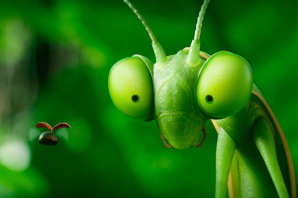 Gefahr! Eine Gottesanbeterin jagt einen Marienkäfer - eine atemberaubende Verfolgungsjagd ist die Folge.