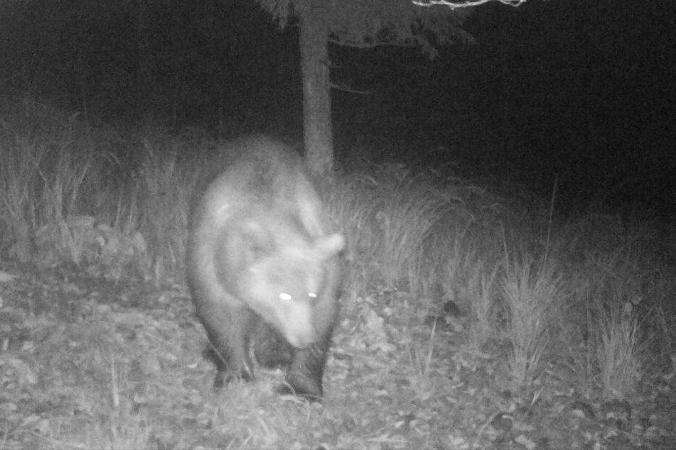 Der Bär ist in der Nähe der bayerischen Grenze in eine Fotofalle getappt.