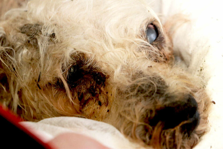 Der Hund war mindestens 10 Jahre alt. Das Haarkleid schon eher spärlich.