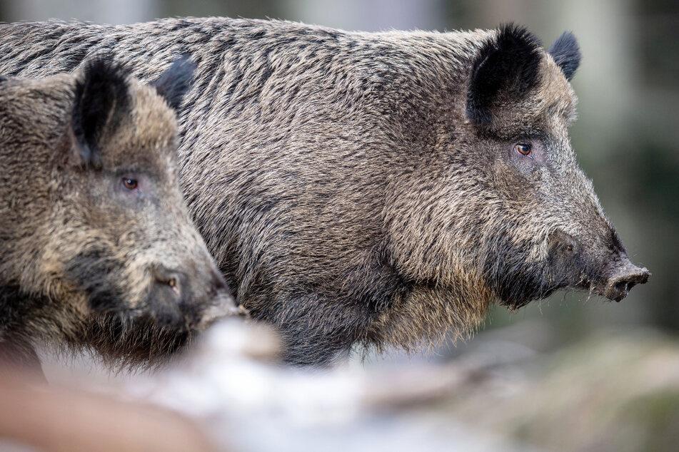 Immer noch verstrahlte Wildschweine in Bayern nach Tschernobyl