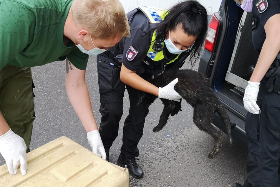 Mitarbeiter des Veterinäramts übergeben die verwahrlosten Hunde dem Hamburger Tierschutzverein.