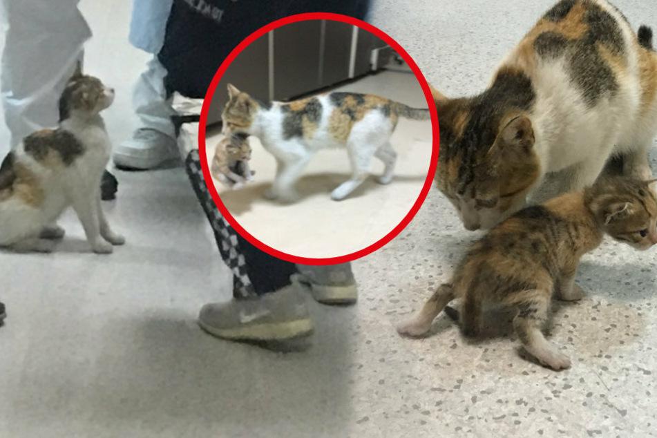 Katzenmutter trägt ihr Baby in Klinik, Ärzte kümmern sich sofort