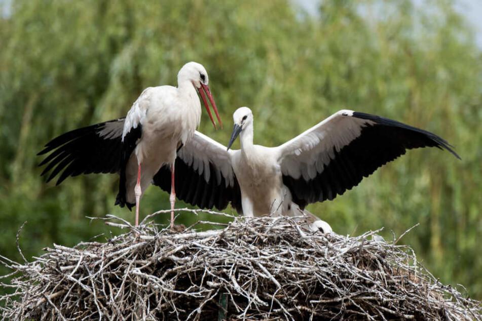 Ein Storch (links) und ein Jungstorch stehen im Stadtteil Kirchwerder auf einem Horst.