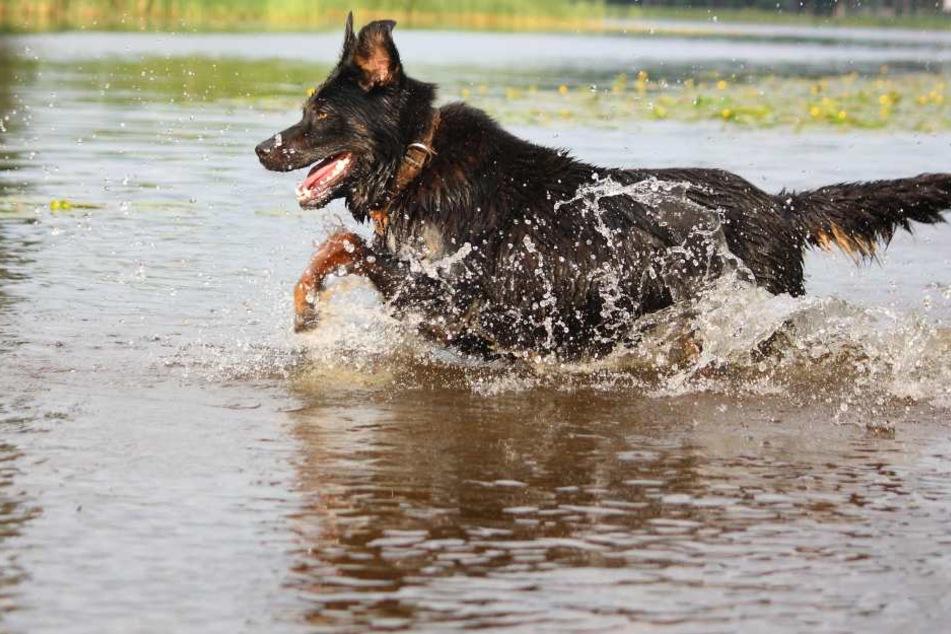 Der Hund sprang bei einem Spaziergang in den Fluss. (Symbolbild)