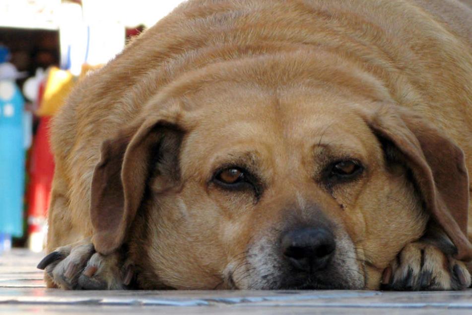 """""""Ihr Tier ist zu fett!"""" Veterinär will Schluss mit übergewichtigen Hunden und Katzen machen"""