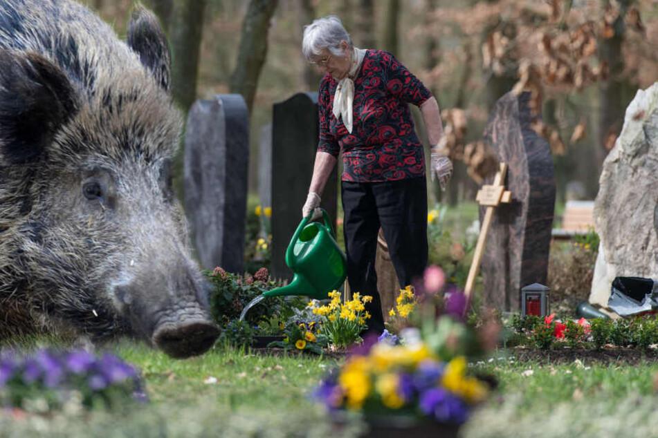 Der Friedhof in Mombach wird von Wildschweinen heimgesucht. (Symbolbild)