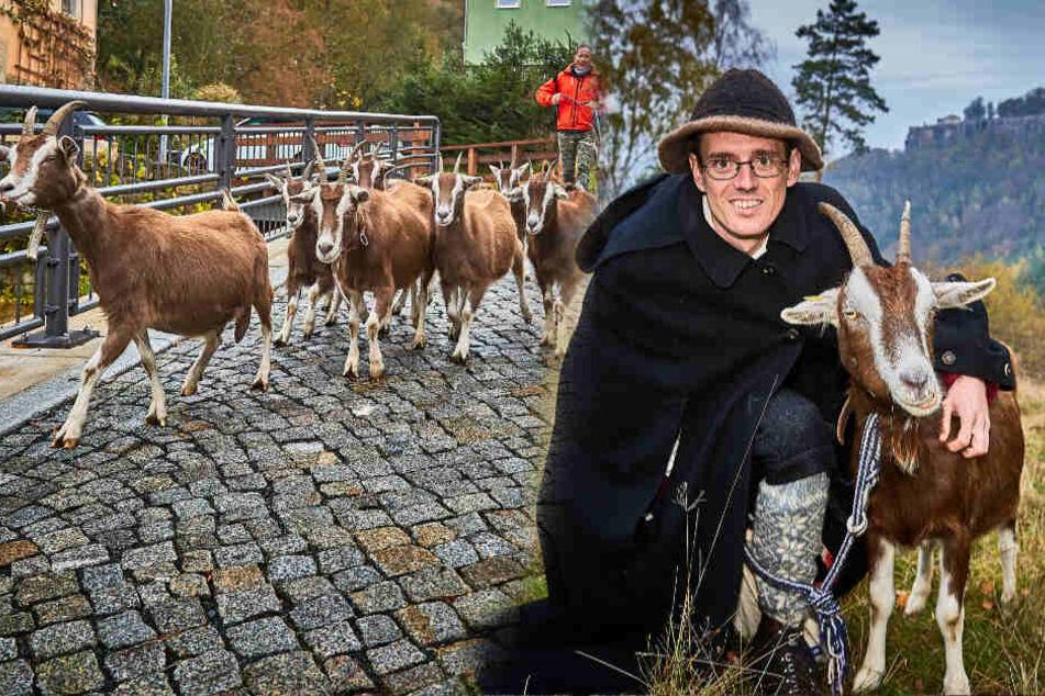 Ziegenhirte will Alm-Abtrieb in Sachsen etablieren: So lief der Testlauf