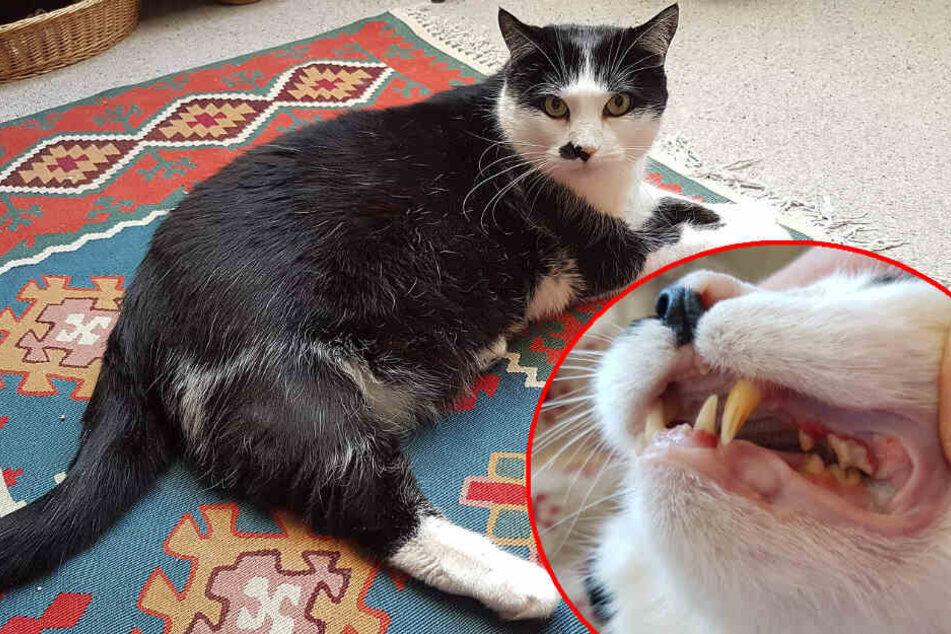 Kater Burli schien gesund, doch sein Zahnfleisch war schwer entzündet. (Bildmontage)