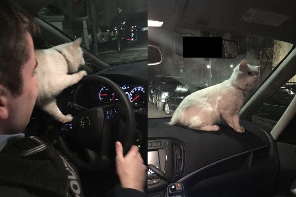 Kater Patxi übt sich im Fahren eines Polizeiwagens.