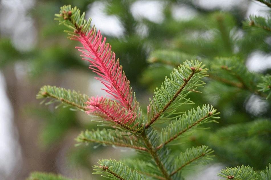 Auch die rote Farbe soll Diebe abhalten, den Baum zu klauen.