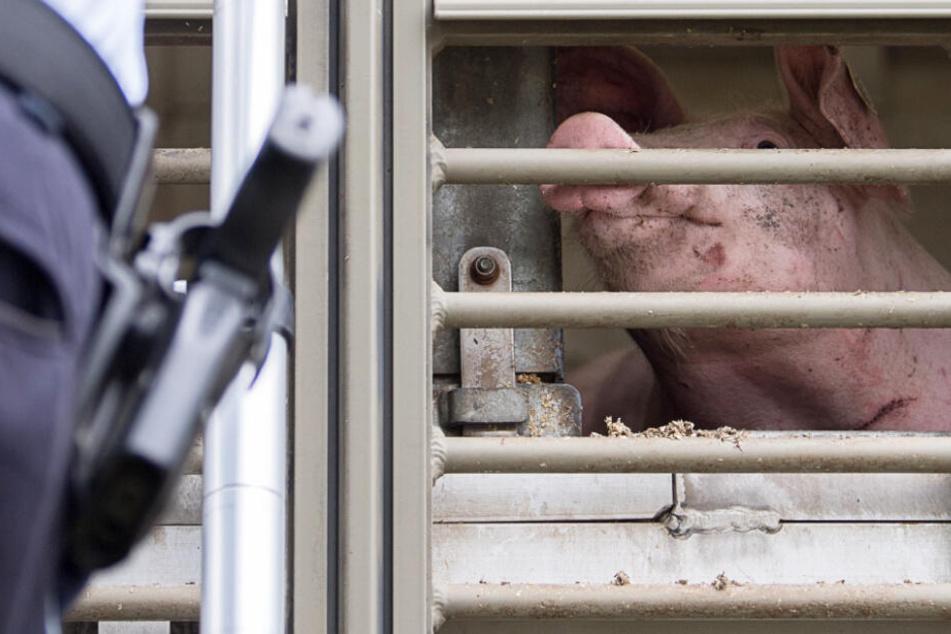 Immer wieder werden Tiertransporte in Bayern auch von der Polizei kontrolliert.