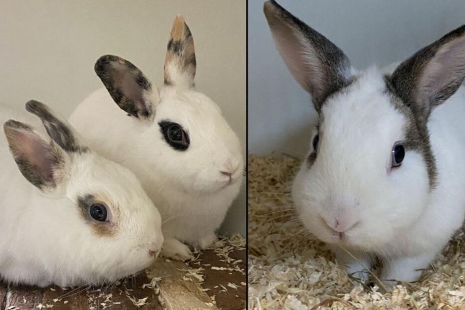 Acht Kaninchen aus dem Tierheim Köln-Dellbrück suchen ein neues Zuhause.