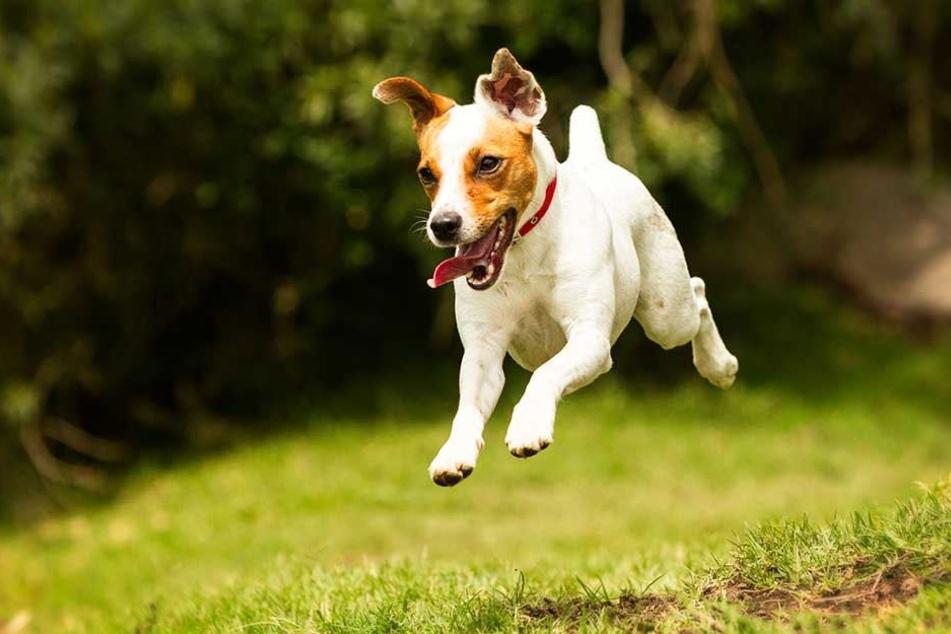 Ein Jack Russel Terrier war das Opfer der beiden Aggro-Hunde.