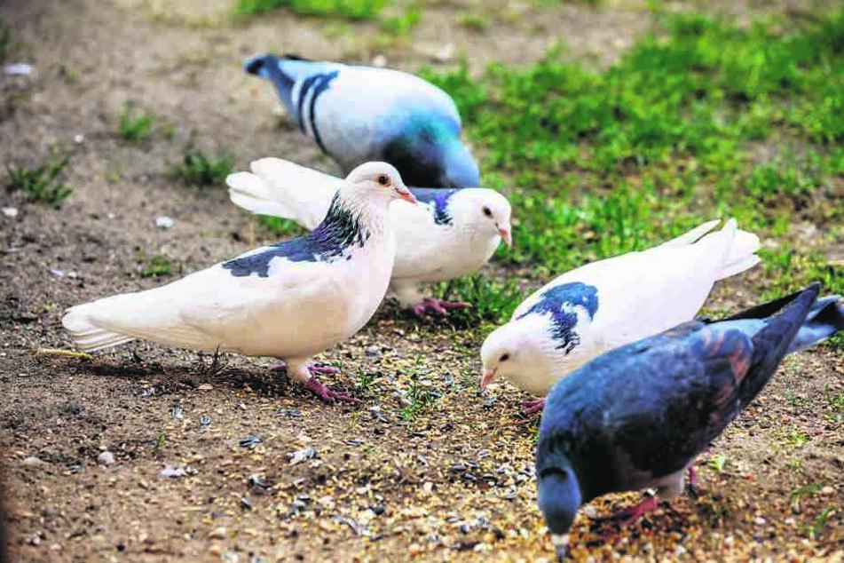 Seltene Gäste: Auch diese Tauben suchen ein neues Zuhause.