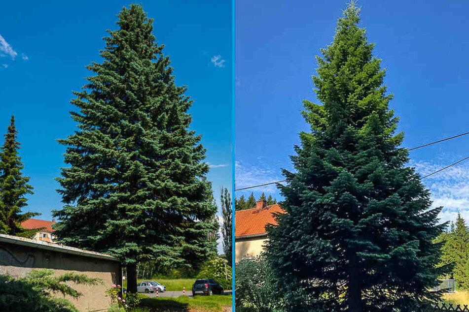 Welcher Baum soll auf dem Weihnachtsmarkt stehen? Die Blaufichte (links) oder die Tanne (rechts)?