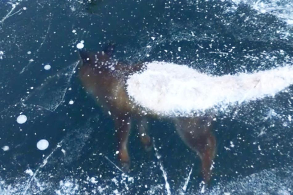 Der Schweif des Fuchses schaut aus dem zugefrorenen See heraus.