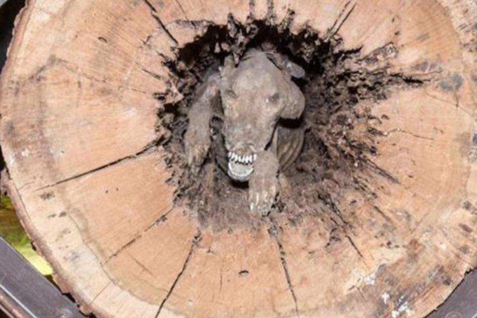 Als die Waldarbeiter den Baumstamm zersägten, machten sie diese gruslige Entdeckung.