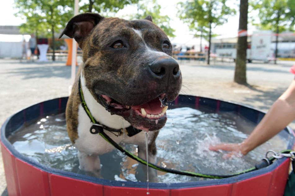 Der Mann brachte Hunde der Rasse American Staffordshire-Terrier von Serbien nach Deutschland. (Symbolbild)