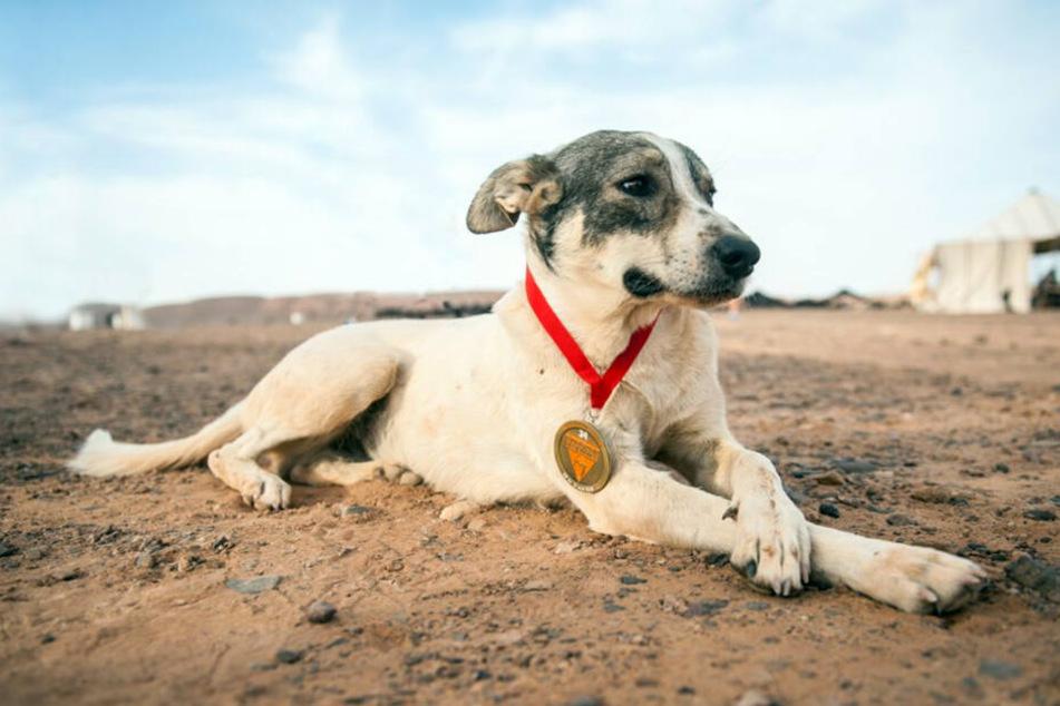 """Hund Cactus, der die dritte Etappe des """"Marathon des Sables"""" in der Sahara auf Platz 52 beendet hat, liegt mit seiner Teilnehmer-Medaille im Sand."""