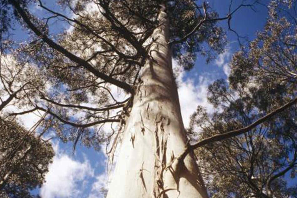 Ein gigantischer Eukalyptusbaum stürzte auf die Hochzeitsgäste.