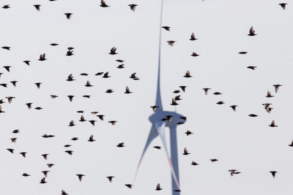 Ein Vogelschwarm fliegt vor einem Windrad. Die Anlagen sind für die Tierwelt eine tödliche Gefahr.