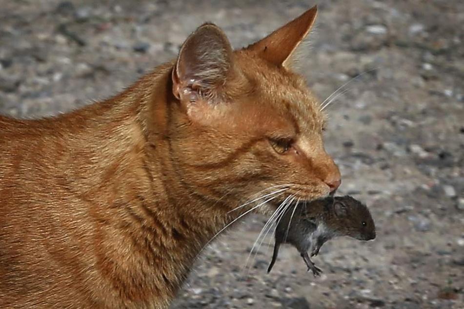 Katzen brauchen laut RSPCA Fleisch.