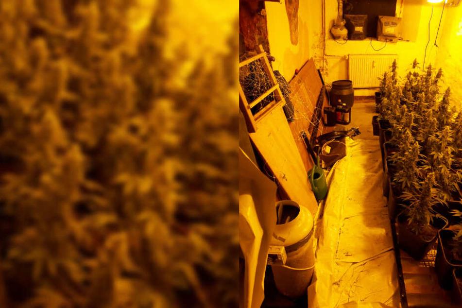 In einem Raum der Wohnung fanden die Polizisten 39 Hanf-Pflanzen.