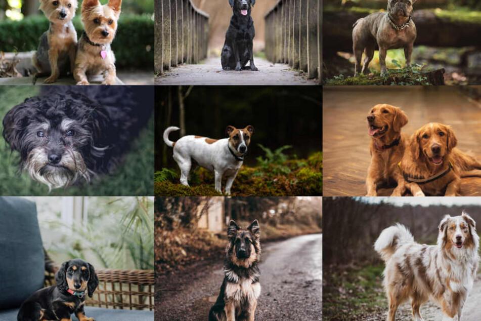 Das sind die 10 beliebtesten Hunderassen in Deutschland
