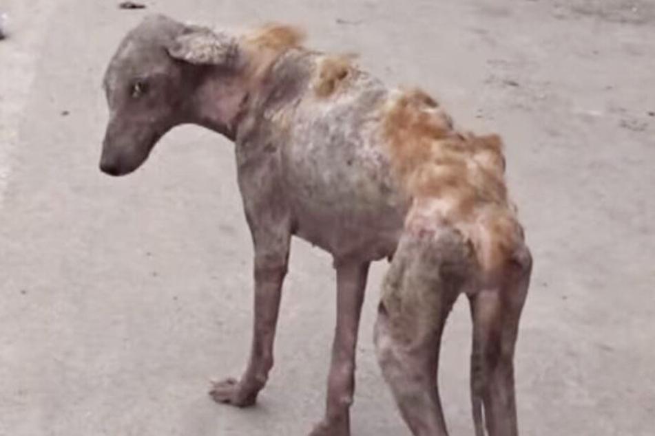 Lebendes Skelett: Tierschützer retten Hündin und verwandeln sie unglaublich