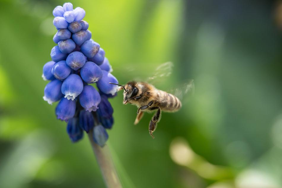 Eine Biene auf der Suche nach Futter.