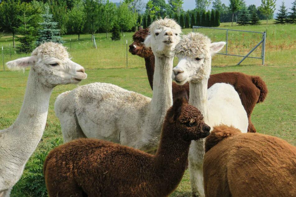 Die Alpakas aus dem Vogtland sind nicht nur süß, sondern geben auch gute Wolle.