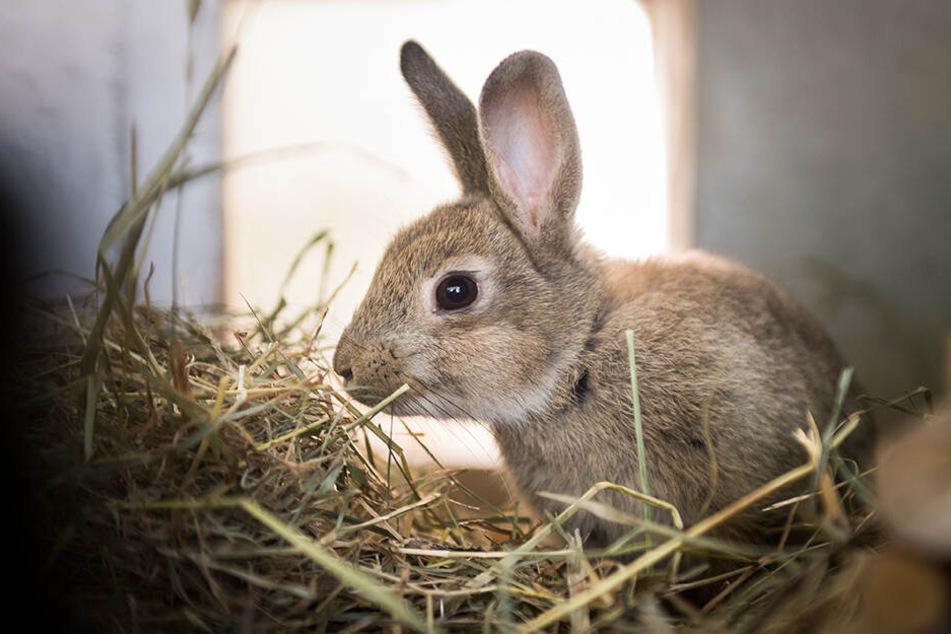 100 solcher Kaninchen mussten durch die Aktion sterben (Symbolbild).