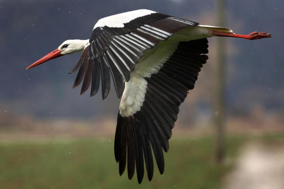 Ein Storch fliegt nahe des alten Kranturms in Kirchheim.