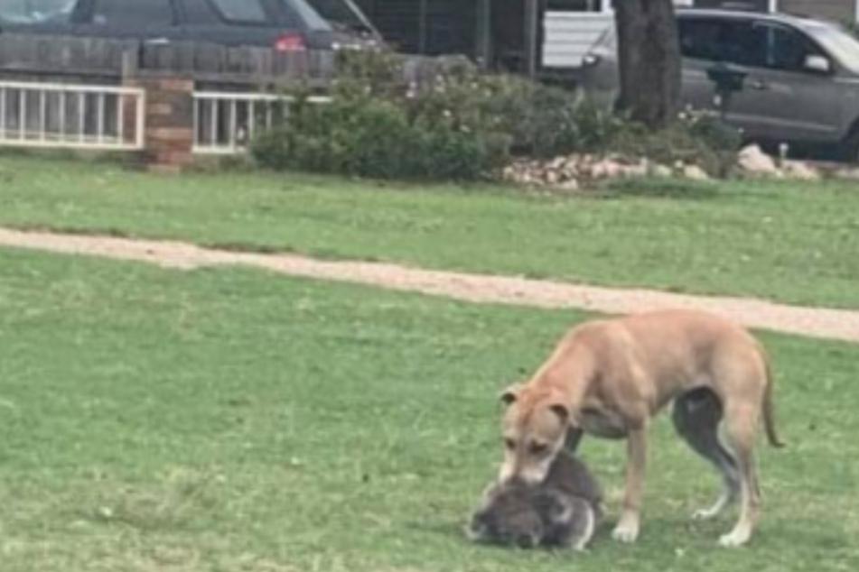 Ein Fotograf drückte den Auslöser, als ein Hund einen Koala packte.