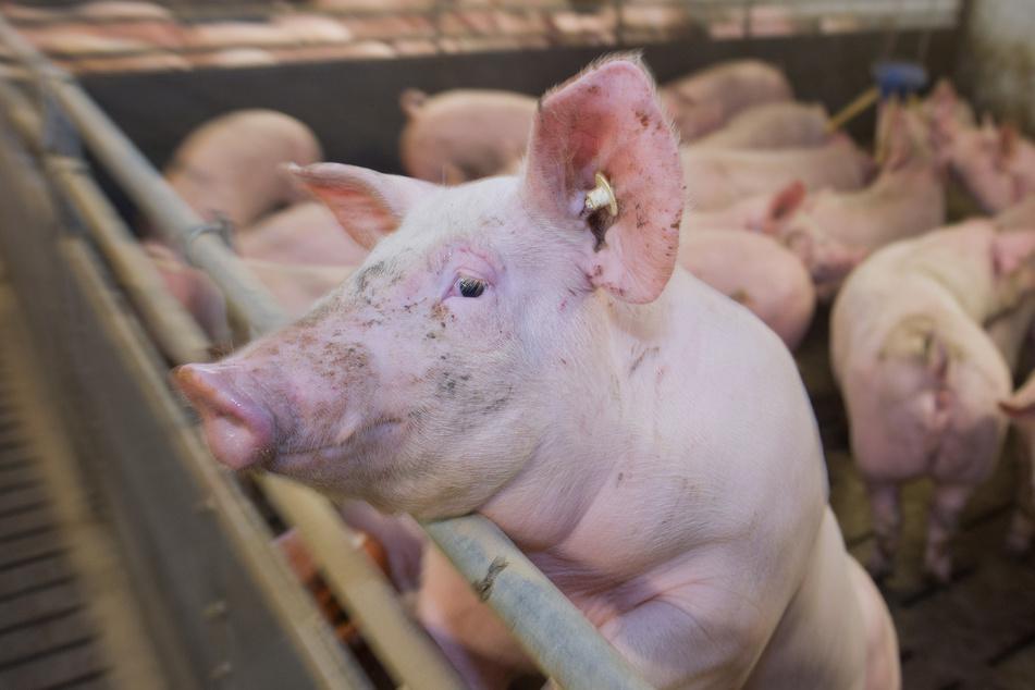 Ein Mastschwein in einem Schweinestall.