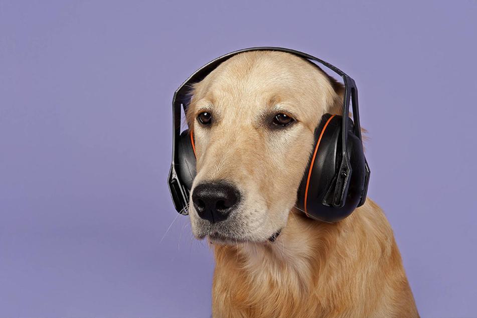 Hunde haben ein sehr sensibles Gehör.
