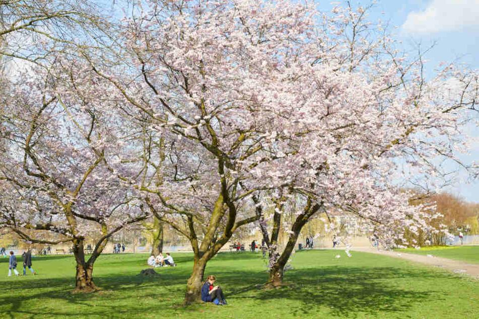 Die blühenden Zierkirschen an der Alster zeigen den Frühlingsbeginn in Hamburg.